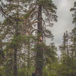 """I Muddus nationalpark. Alltså... en riktig naturskog är någonting HELT annat än trädplantagerna som utgör dagens """"skogs""""-bestånd."""