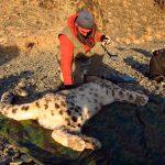 Mongoliet 2010 ( Snöleopardsprojekt) Någon gång runt 1980 hörde jag första gången talas om Snöleoparder. Det lät som ett fantasidjur och jag har drömt om att se en enda sedan dess. 30 år senare fick jag kontakt med en svensk som bodde i en jurta, ett tält, i Mongoliet och forskade om Snöleoparder. VI fick kontakt och 2010 så var jag i Gobi och gjorde en film om honom. Det här är Örjan Johansson med en av dom snöleoparder han försett med ett sändarhalsband.